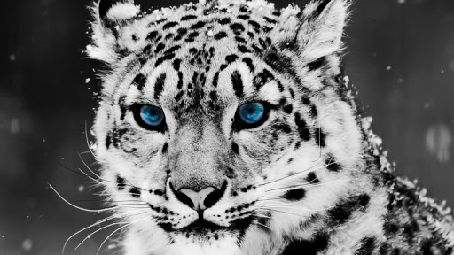 Leopard HD Wallpaper