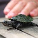Krefft's Turtle (baby)