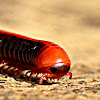 Rusty Millipede