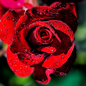red and wet by Jamie Valladao - Flowers Single Flower ( rose, red rose, wet red rose, bloom, flower,  )