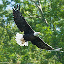 American Bald Eagle (Mature)