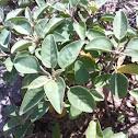 Silver leaf croton