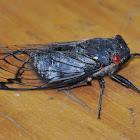 Black Prince Cicada