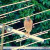 Roadside Hawk (Gavião Carijó)