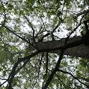 Eastern Black Oak