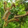 Emperor gum moth larvae