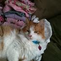 Medium-haired cat