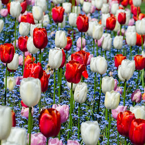 Red White Blue by Cory Bohnenkamp - Flowers Flower Gardens ( red, blooms, blue, tulip, white, tulips, flowers, blossoms )