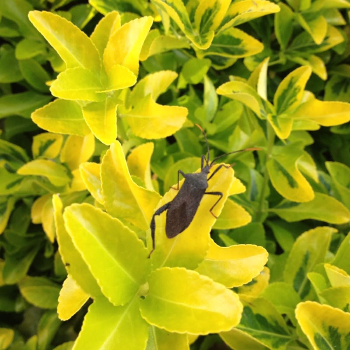 Leaf-footed bug