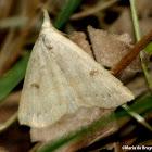 Morbid owlet moth