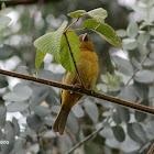 Piranga bermeja (f)-Hepatic tanager