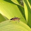 Eastern box elder bug