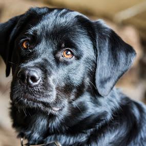 Bears Reflective Black Coat by Craig Lybbert - Animals - Dogs Portraits ( brown eyes, dog, lab, black fur, rottweiler,  )