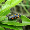 Ptosima Beetle