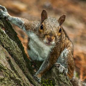 squirrel by Mark Usher - Animals Other Mammals ( wood, tree, grey, woodland, squirrel )