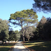 Stone Pine / Pin / Bor