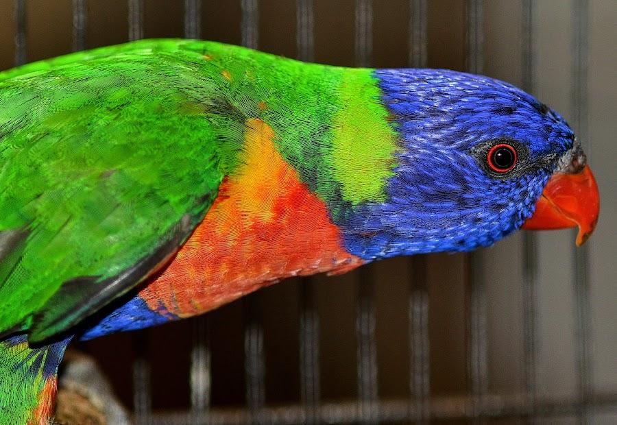 Rainbow Lorikeet 1 by Gary Chen - Animals Birds