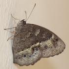 Dark Evening Brown Butterfly