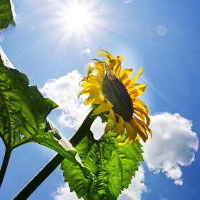 sun...flower by Jody Jedlicka - Flowers Single Flower ( blue, summer, sunflower, leaves, sun )