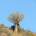 Quiver Tree (Kokerboom)