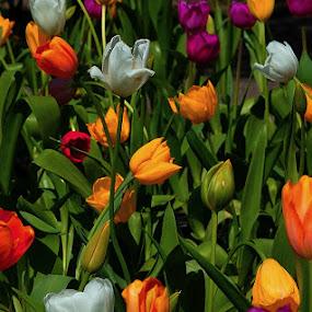 Tulipanes by Daniel Sapag - Flowers Flower Gardens ( flores, primavera, tulipanes, tulipan, naturaleza )