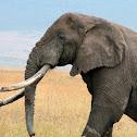 African Elephant (Ngorongoro Crater)