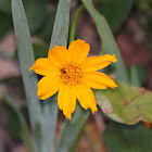 Coreopsis or Tickseed