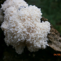 Slime Moulds of the British Isles