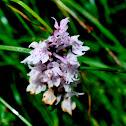 Alpine Orchid