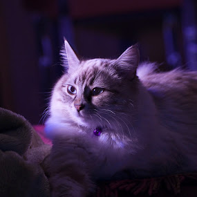 Mysterious Cat by Ryan Li - Animals - Cats Kittens ( flash, garyfong, cat, kitten, pet, contest, animal, #GARYFONGPETS, #SHOWUSYOURPETS )