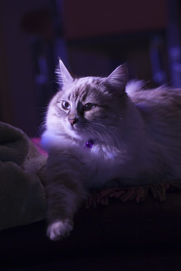 Mysterious Cat by Ryan Li - Animals - Cats Kittens ( flash, garyfong, cat, kitten, pet, contest, animal, #GARYFONGPETS, #SHOWUSYOURPETS )