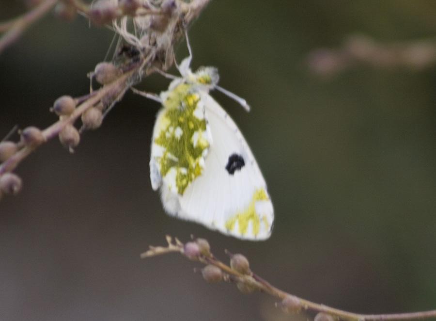 Western Dappled White