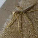 Large Brown Mantis