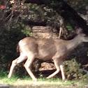 California mule deer