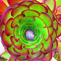 Garden Snail in center of Aeonium Succulent