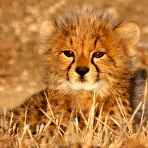 Cheetah cub.jpg