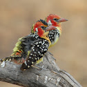 Red -and-yellow Barbet