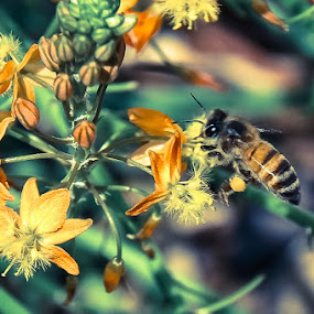 Bee Pollen by Bob Barrett - Animals Insects & Spiders ( pollen, bee, bug, insect, garden, flower )