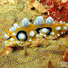 Ocellated Nudibranch