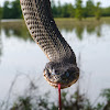Plain bellied watersnake (yellow/copperbelly integrade)