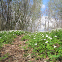 Meadow Anemone, Easter Flower