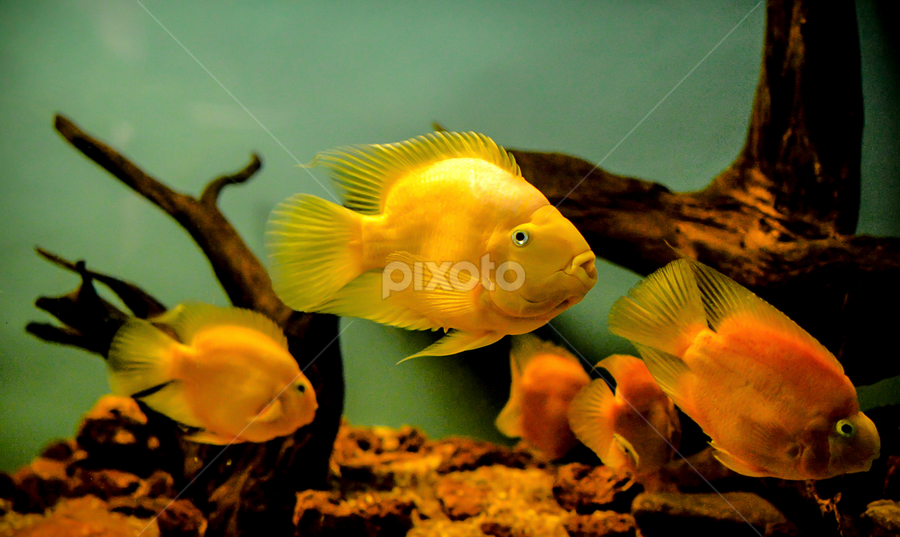 """Love your pets unconditionally - for you are their god.""  by Manoj Swaminathan - Animals Fish ( fish tank, fish, aquarium, gold, gold fish,  )"