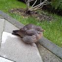common blackbird (female)