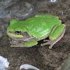 Cope's Gray/Gray Treefrog Complex