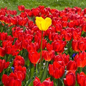 Tulip garden TURKEY by Ahmet Güler - Flowers Flower Arangements ( tulip garden turkey, red, green, flower, bouquet, Flowers, Flower Arrangements,  )