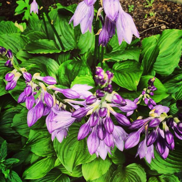 Purple Flowering Hostas Project Noah