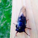 17 Year Cicada