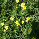 Creeping yellow wood-sorrel