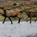Cabra montesa, Iberien Ibex