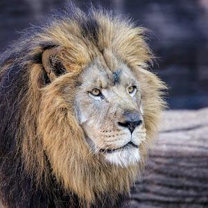 Lion Glare-1.jpg